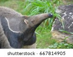 giant anteater  | Shutterstock . vector #667814905