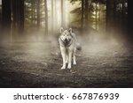 Grey Wolf  Portrait   Captive...