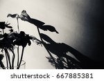 fading anemone flowers shadow... | Shutterstock . vector #667885381