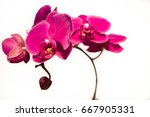 orchid isolated on white...   Shutterstock . vector #667905331