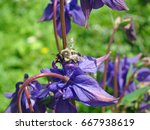 Bee On The Flower Of Aquilegia