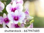 purple phalaenopsis orchid... | Shutterstock . vector #667947685