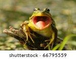 Green Frog  Rana Clamitans ...
