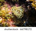Small photo of Heart shaped Trumpet anemone, Aiptasia mutabilis, Vermilion Coast, Roussillon, Mediterranean sea, France