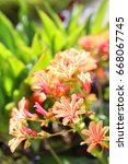 Small photo of The flowers of an orange lewisia rock plant