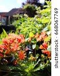 Small photo of Orange lewisia growing in an urban garden
