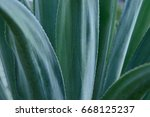 agave plant from mexico for... | Shutterstock . vector #668125237