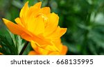 Small photo of Close-up of Trollius (Ranunculales).