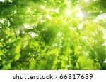 Green Oak Leaves  Bright Sun