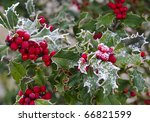 Holly With Bright Red Berries...