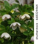 white flowers from a hellebore... | Shutterstock . vector #668324464
