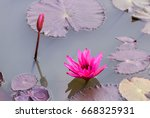 water lilly blooming in pond. | Shutterstock . vector #668325931