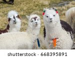 Cute Llamas Altiplano Bolivia South - Fine Art prints