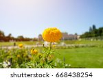 yellow flower in the garden. | Shutterstock . vector #668438254