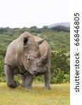 White Rhino On The Move