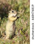 Small photo of european ground squirrel closeup, image of wild animal taken in natural habitat ( Spermophilus citellus ), listed as vulnerable by IUCN, endangered species