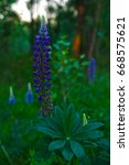 beautiful violet lupins at the... | Shutterstock . vector #668575621