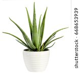 Small photo of Isolated fresh Aloe vera plant in a flowerpot with its succulent leaves from which the soothing sap used for healing and medicinal purposes is derived