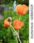 beautiful poppies and buds in... | Shutterstock . vector #668865229