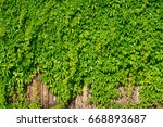 Grows Grapes On A Fence