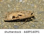 Small photo of Heart And Dart Moth - Agrotis exclamatiois On Stone