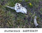 Skull And Horns Of Wild...