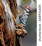 A Male Ladder Back Woodpecker...