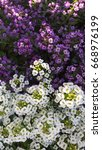 Small photo of White and Purple Alyssum Flowers Growing Together in a Garden Bed