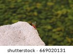 Red Dragonfly On Rocks Closeup...