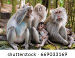 Macaque Monkeys With Cubs At...