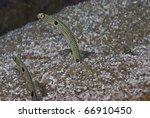 Spotted Garden Eels ...
