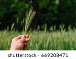 human hand holding rye on field ...   Shutterstock . vector #669208471