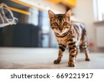 Stock photo bengal cat walks on the floor in the kitchen 669221917