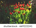 flower tulips background.... | Shutterstock . vector #669222241