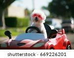 happy dog in car. bichon frise...
