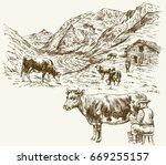 Herd Of Cows Grazing  Farmer...