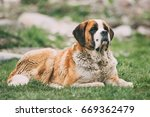 Small photo of St. Bernard Or St Bernard Dog Sit Outdoor In Green Spring Meadow. The St. Bernard Or St Bernard Is A Breed Of Very Large Working Dog From The Western Alps In Switzerland, Italy And France For Rescue