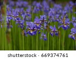 bright irises on a flower bed... | Shutterstock . vector #669374761