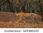 tiger walking on the gravel... | Shutterstock . vector #669380245
