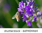 bee collects pollen on lavender   Shutterstock . vector #669404464