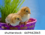 Baby Rhode Island Red chicks in a Easter basket with fresh grass and soft blue and baby pink. - stock photo