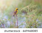 asian golden weaver hold on the ... | Shutterstock . vector #669468085