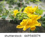 cat's claw creeper | Shutterstock . vector #669560074