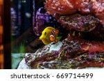 zebarosum yellow tan fish swims ... | Shutterstock . vector #669714499
