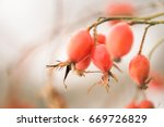Red Rose Hip Berry On A Tree A...