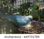 Indian Ring Neck Parakeets