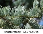 Small photo of Abies concolor Violacea is variety of White fir with long, silvery needles turning pale. They are soft ti touch.
