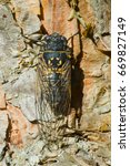 Small photo of Small-headed Cicada resting on the trunk of a tree. Also known as Canadian Cicada.
