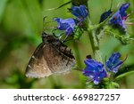 Northern Cloudywing Butterfly...