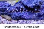 chiloscyllium punctatum bamboo ... | Shutterstock . vector #669861205